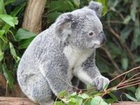 Coola Koala