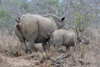 Där noshörningar pudrar näsan