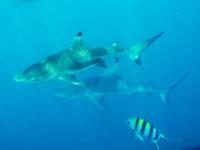 Otto och hajarna