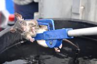 Råttan har lämnat skeppet