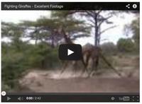 En ulv i giraffkläder
